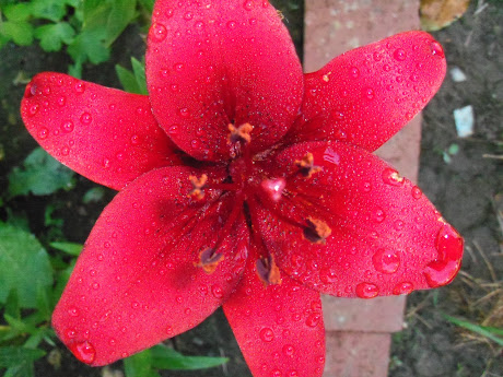 One of my bright red lilies from summer of 2012