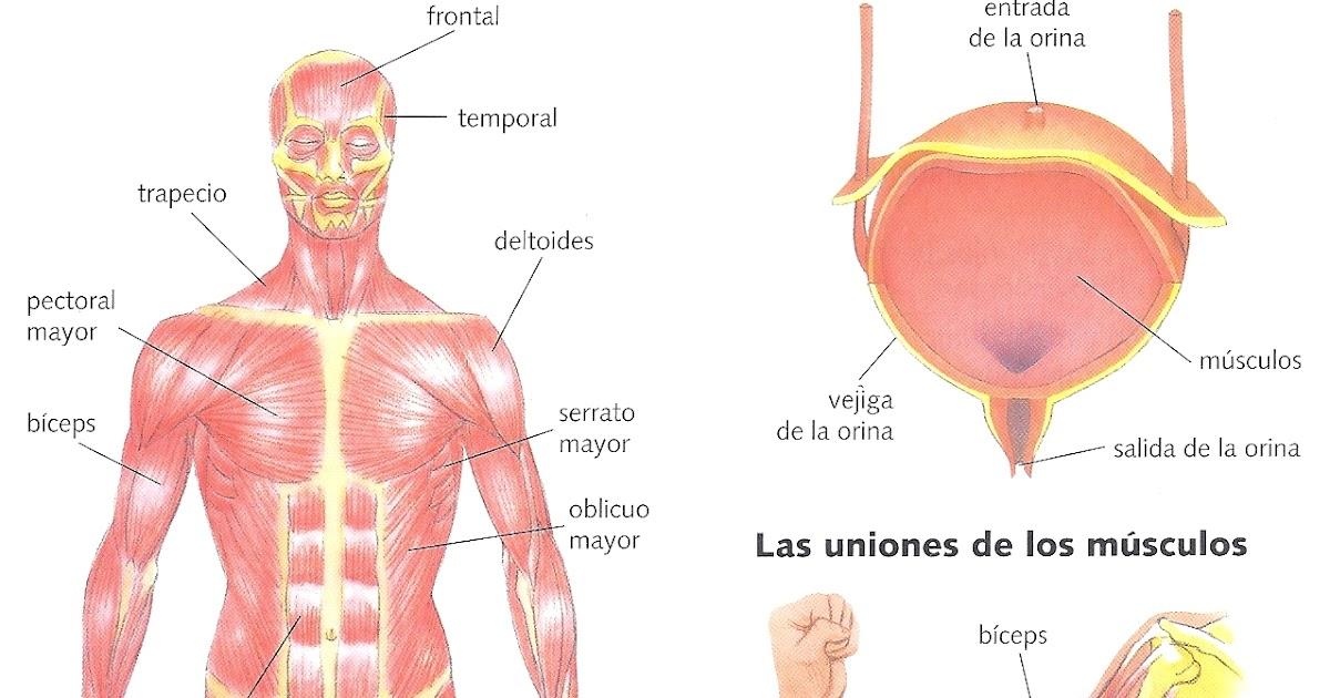 Los músculos: ficha resumen   El Cuerpo Humano