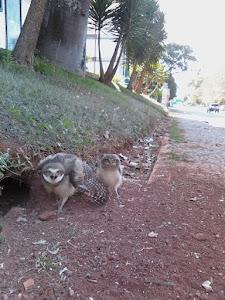 στην Asa Norte, η Νάσια (Coco) ανακάλυψε και μας έστειλε τις κουκουβάγιες !