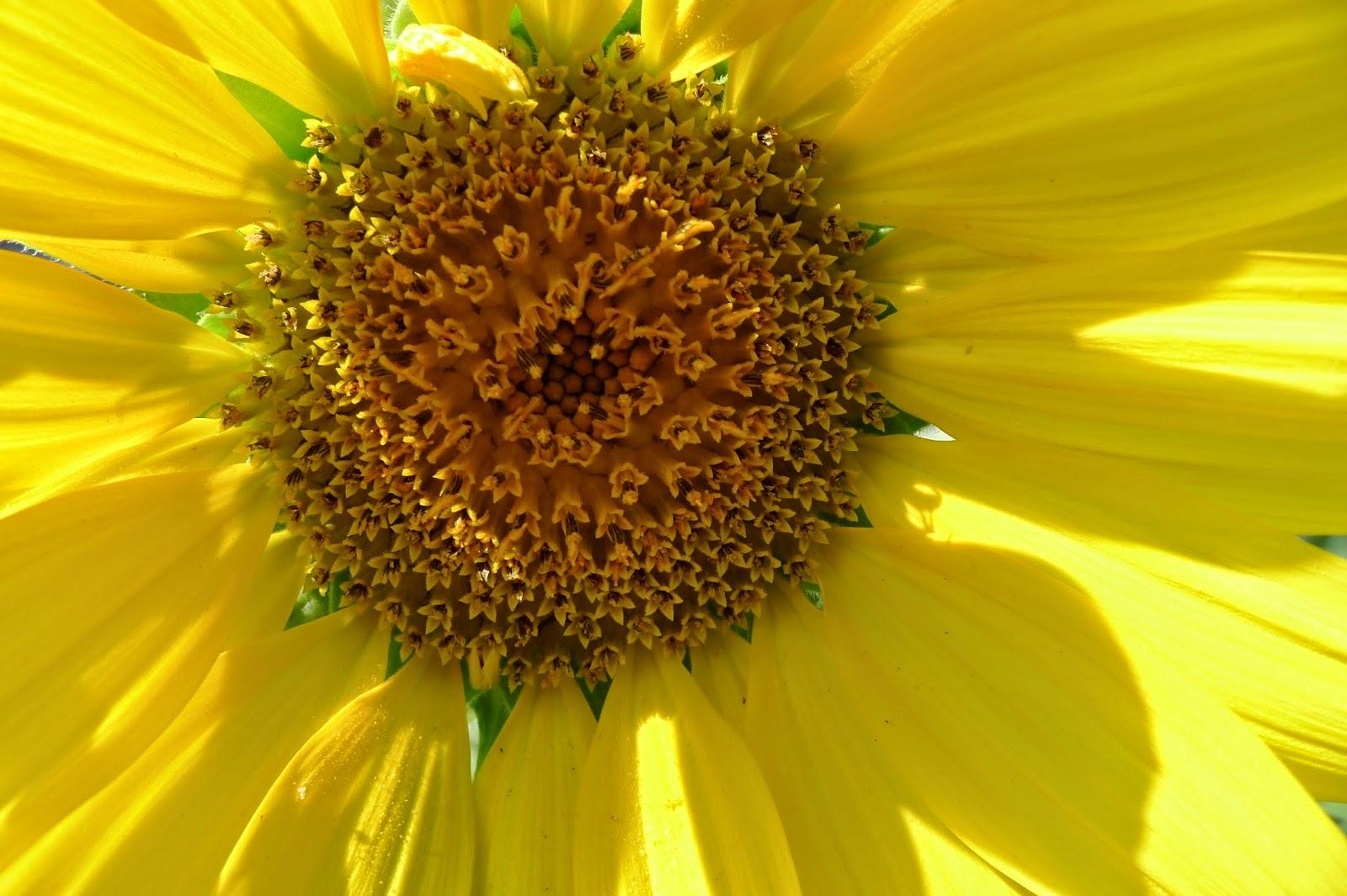 Sunseed Sunflower, gardening, urban farming