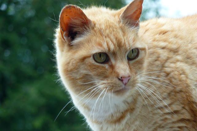 Coppertop the Orange-Ginger tuxedo cat, always friendly