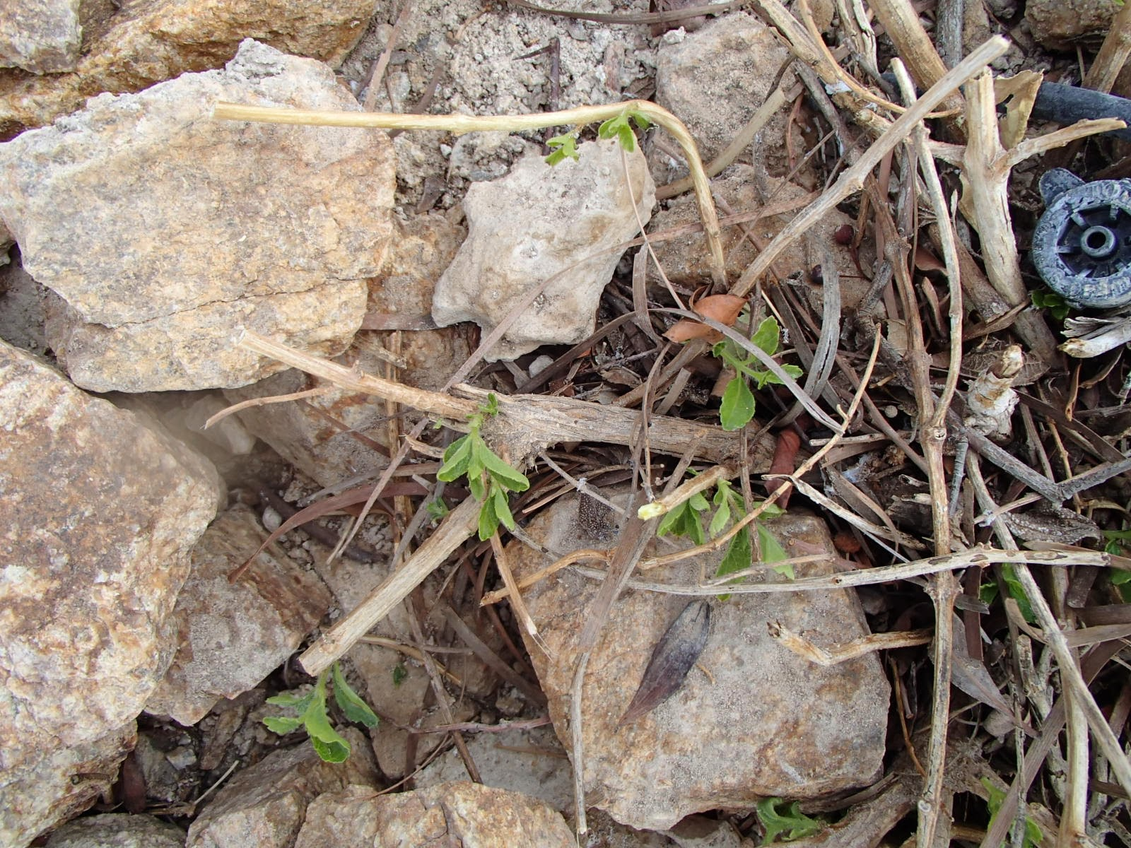 Xtremehorticulture Of The Desert Still Afraid To Prune Your Lantana