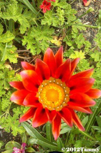 Tammy's orange gazania