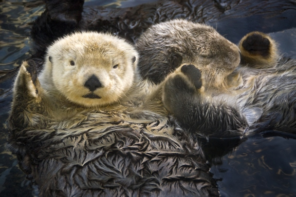 15 cutest endangered animals in the world, sea otters