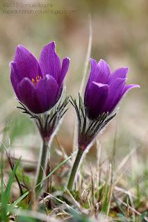 Photo macro anémone pulsatille violette