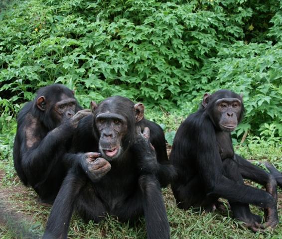 """Résultat de recherche d'images pour """"centre de réhabilitation des primates de lwiro (crpl facebook)"""""""