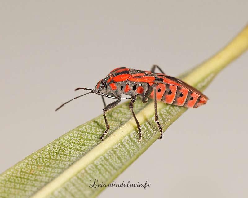 Spilostethus pandurus une grande punaise rouge et noire - Insecte rouge et noir ...
