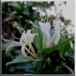 bahçede hanımeli   hanımeli çiçeği    hanımeli sokağı     hanımeli ev yemekleri    barış manço hanımeli    hanımeli dinle    hanımeli örgü     hanımeli örgü dünyası hanımeli   faydası hanımeli   zararları hanımeli   yararları hanım sağlık bitki çiçek