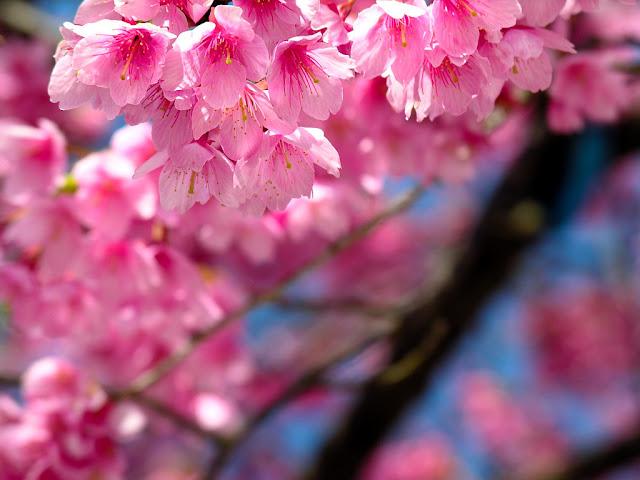 Ảnh đẹp hoa đào rộn ràng ngày tết hòa đào, hình hoa đào