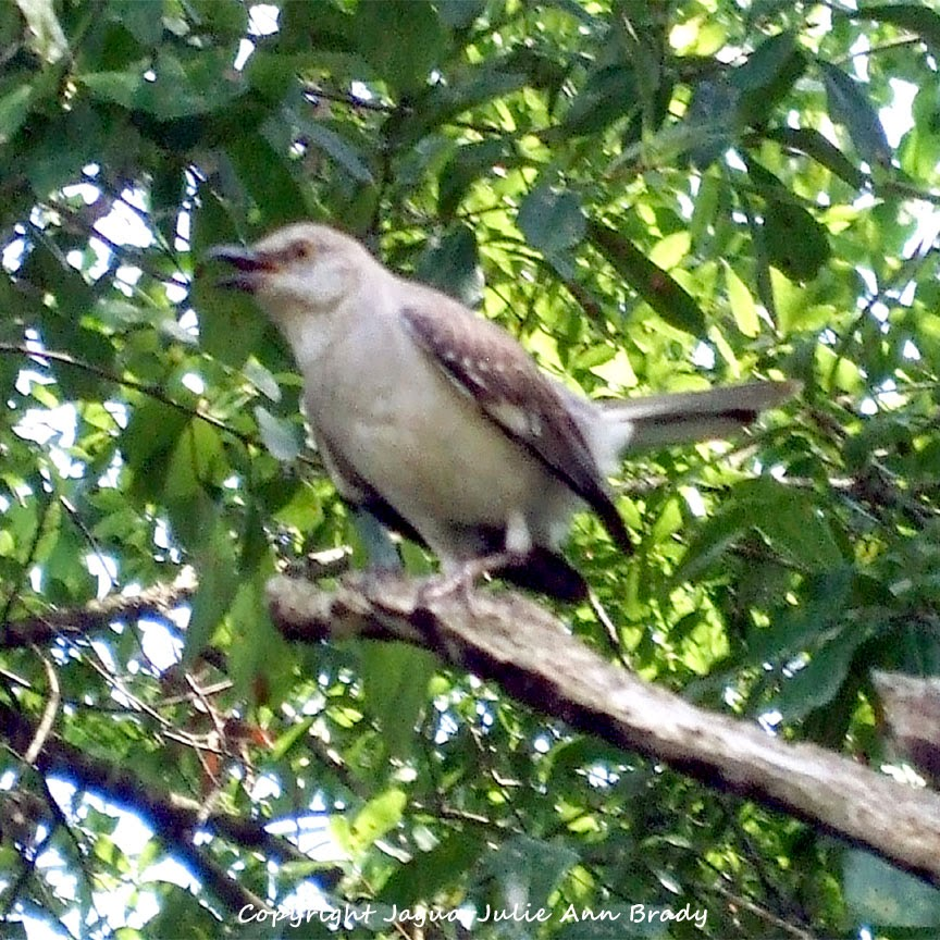 Adult Mockingbird Protective Behavior 20