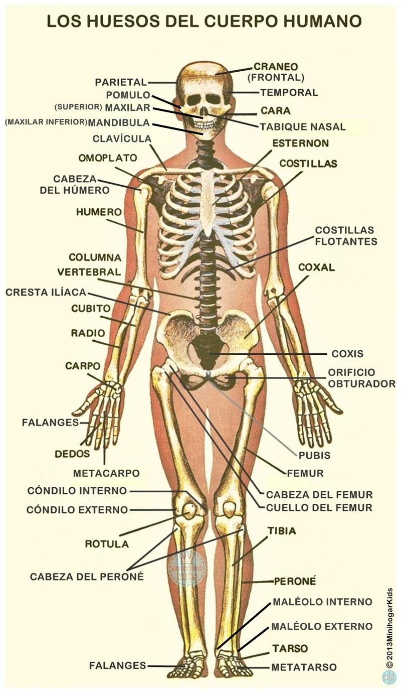 Famoso Aprender Los Huesos Del Cuerpo Ideas - Anatomía de Las ...