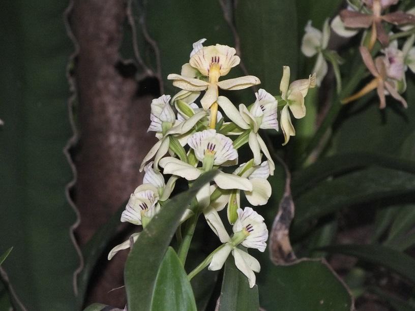 Peligran orquídeas de la región de Córdoba