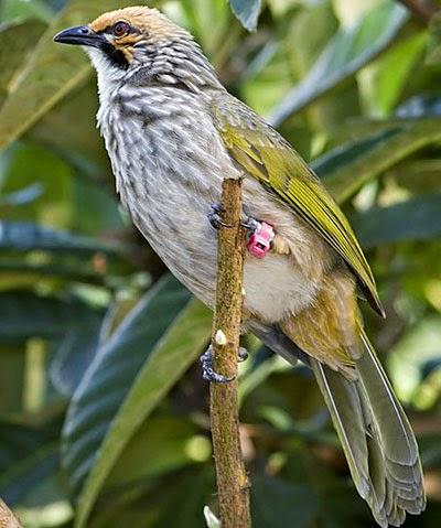 Gambar Cara Merawat Burung Cucak Tembak