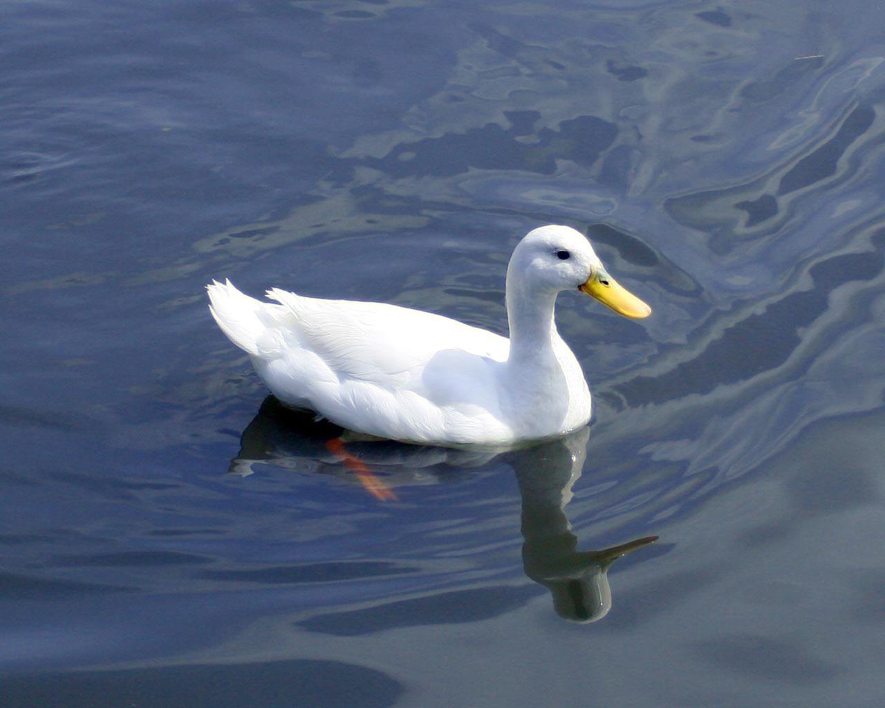 http://3.bp.blogspot.com/-ipTQWF0oIDo/Tu85NTt5fBI/AAAAAAAAAXU/9thK-vFBKJg/s1600/Bright-White-Duck.jpg