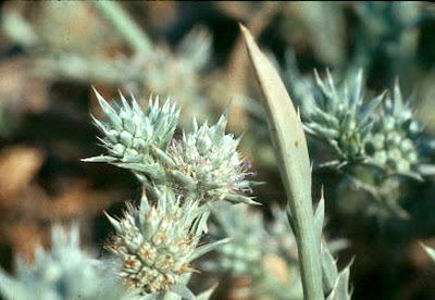 Delta Coyote Thistle (Eryngium racemosum) COLOR PHOTO