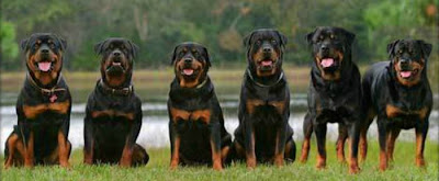 Rottweiler-dog-Training-method