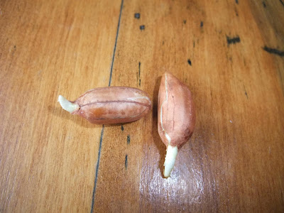 peanut seed root, sprout, grow at home, indoors