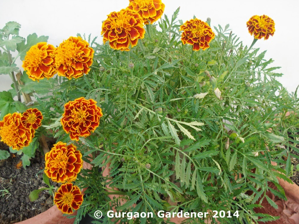 Gurgaon gardener marigold african marigold french for Soil gurgaon