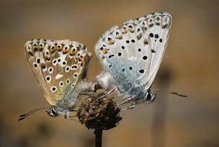 Para ampliar Polyommatus hispana hacer clic