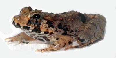 Katak Borneo Baru Ditemukan [ www.BlogApaAja.com ]