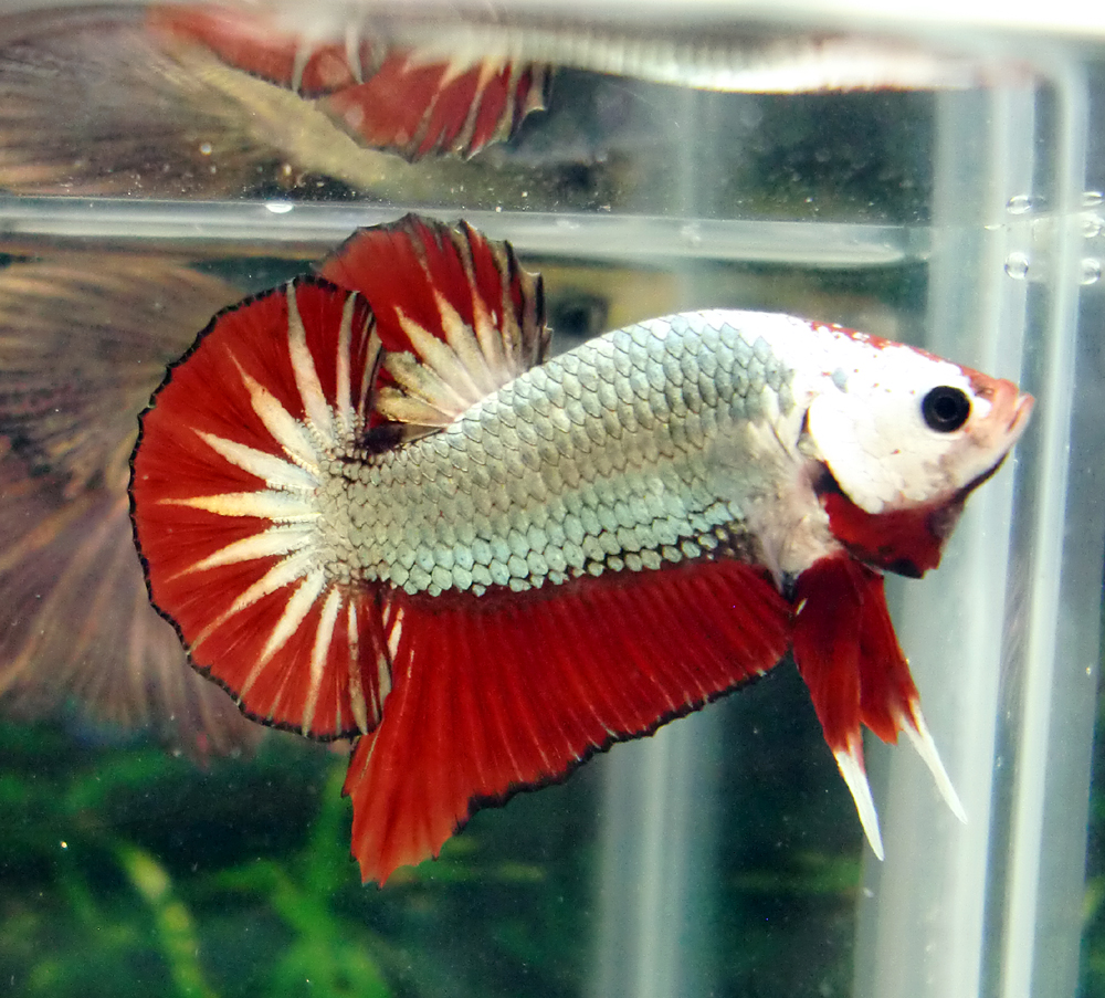 Pg 39 s betta store halfmoon plakat monster dragon 2078 for Healthy betta fish