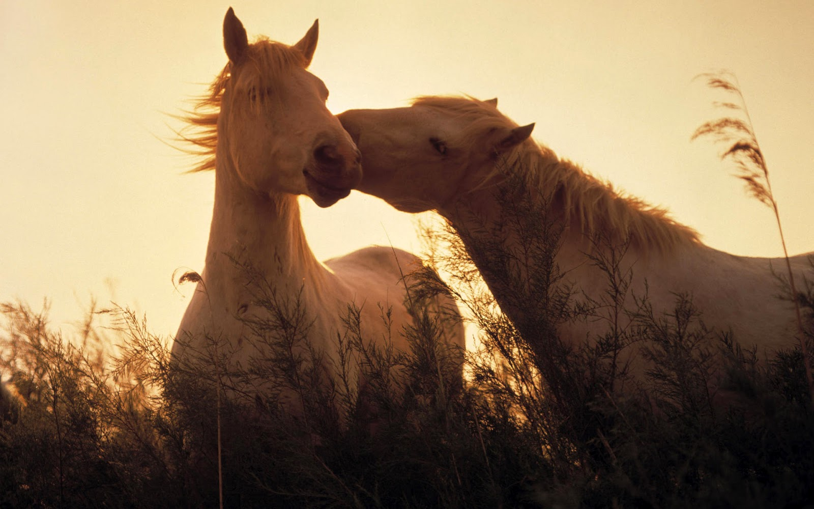 Download   Wallpaper Horse Couple - love+horses  Snapshot_447988.jpg