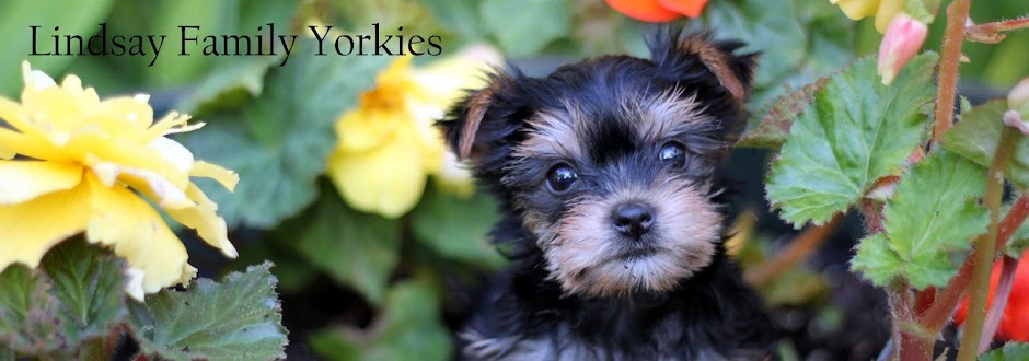 Our Yorkie Puppies
