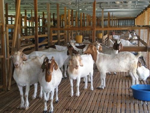 usaha ternak kambing jawa