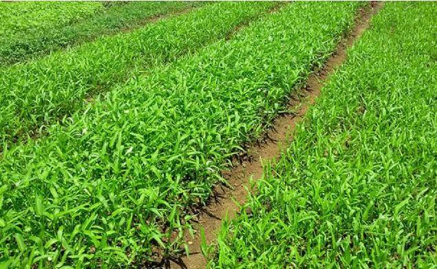 Cara Budidaya Kangkung Darat Di Lahan Pertanian