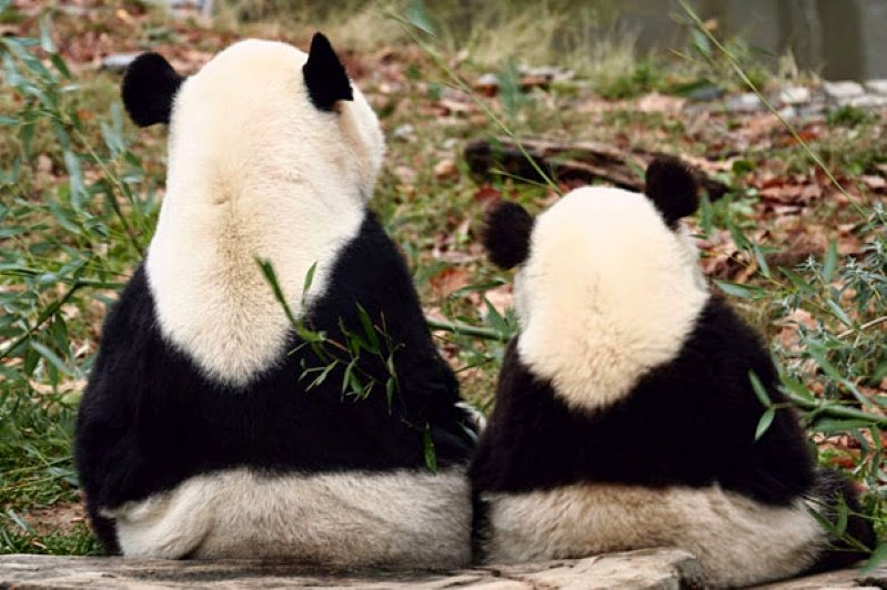 16. A pair of adorable pandas. - 30 Animals With Their Adorable Mini-Me Counterparts