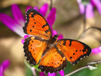 Beautiful Butterfly Normal Resolution Wallpaper 23