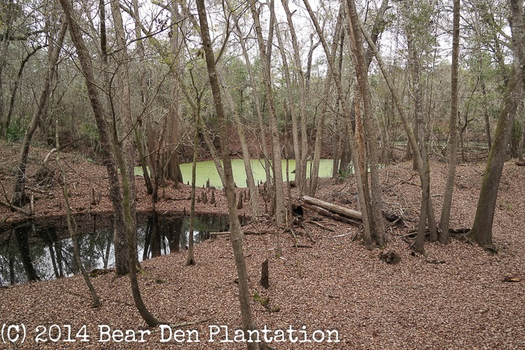 Algae covered pool of water O'Leno State Park in High Springs, Florida.  From the Bear Den Plantation