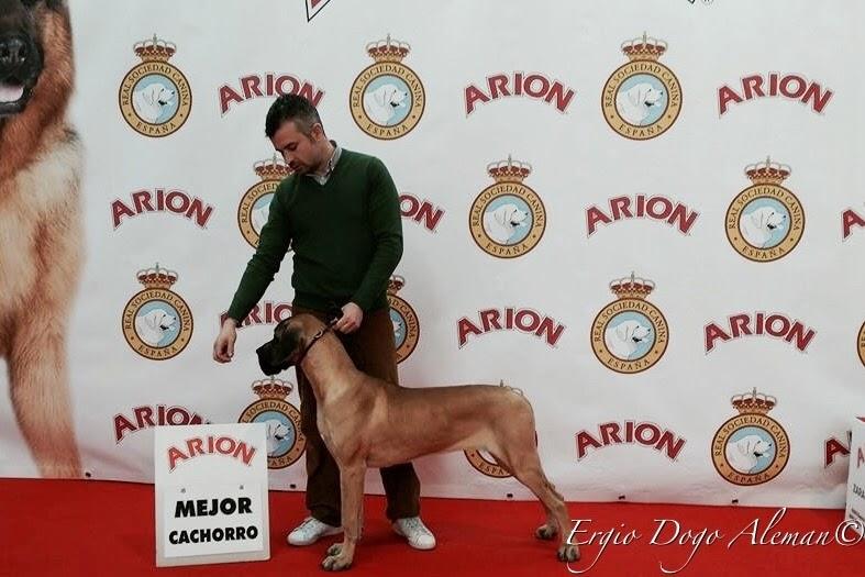 Dogo aleman, Ergio, exposicion canina