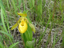 Yellow Lady Slipper in my back-yard.