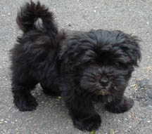 black havanese puppy from royal flush havanese in rhode island