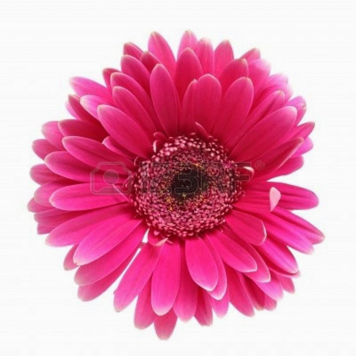 Flower White Backgroundhttprefreshrosespot
