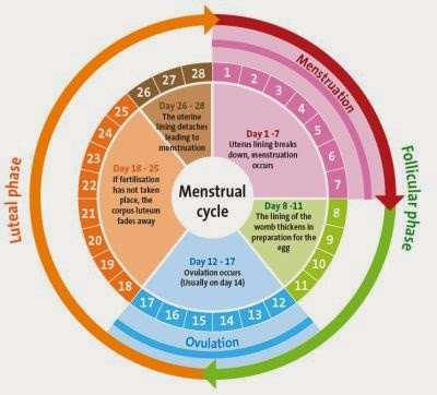 Best time to have sex during ovulation images 14