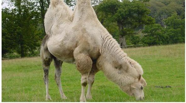 Camel Qurbani Karachi http://bakra-eid.blogspot.com/2012/10/beautiful-arab-camel-in-karachi-for.html