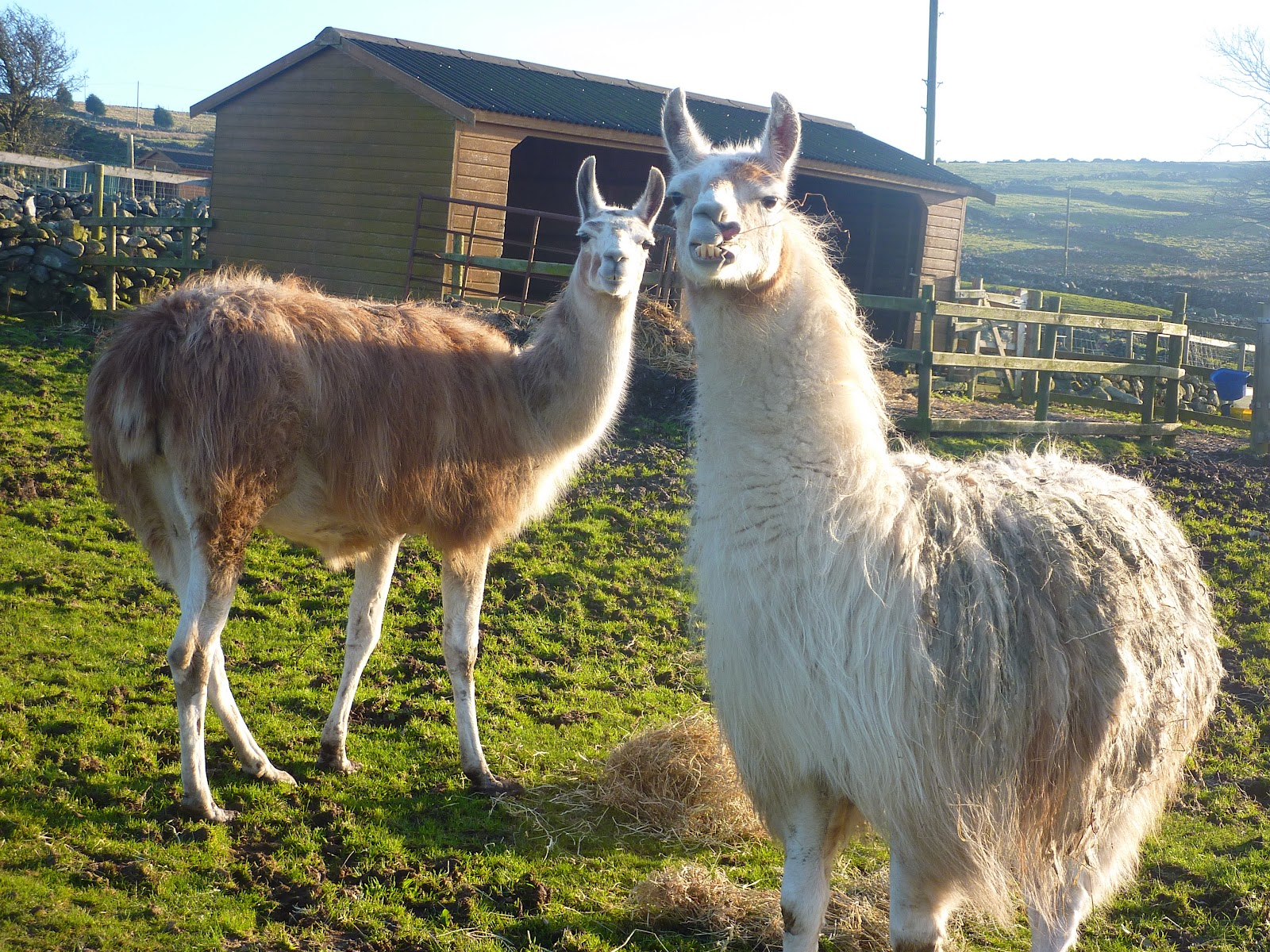 Not a good sound to be heard coming from an animal sanctuary Llamas The Animal