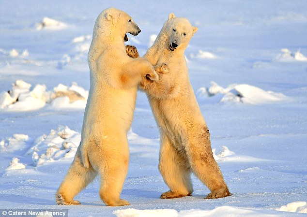 Cute pictures capture polar bear waltz