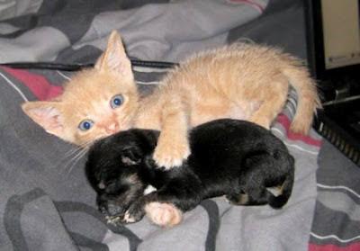 filhote de gato protege cachorrinho, catinho com cachorrinho, gato e cão, cachorro e gato, cat and dog, cat & dog, perro, little dog, big cat, filhotes amigos, filhotes fofos, animais fofinhos