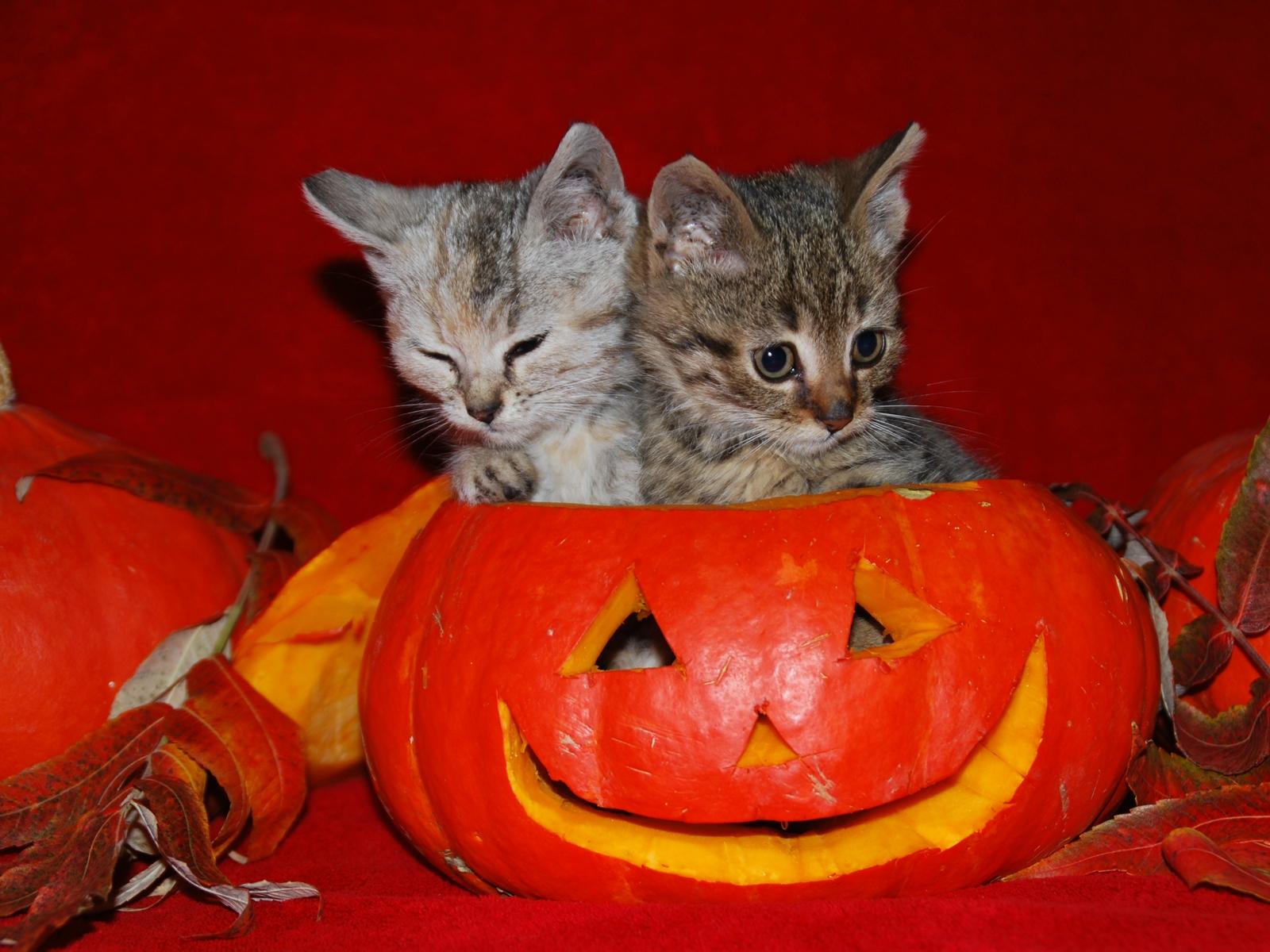 http://3.bp.blogspot.com/-iss28G7_dhc/T-6wWNjcsbI/AAAAAAAAB6c/yx8z7MtMLgs/s1600/halloween-cats-wallpaper.jpg