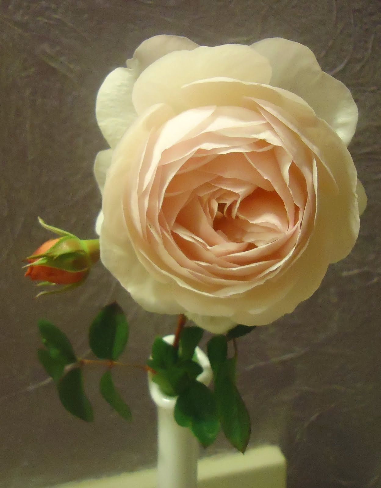 Heirtage Rose