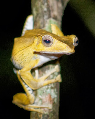 File-eared Tree Frog (Polypedates otilophus)