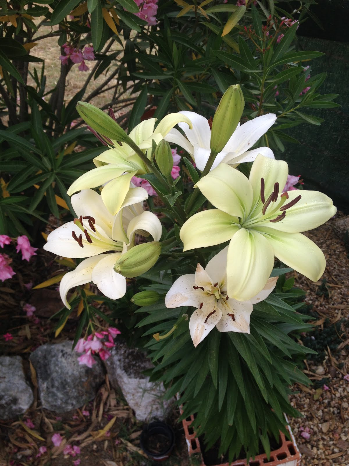lilies from my garden 2015