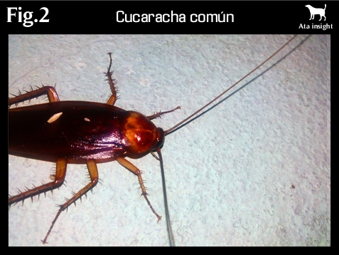 cucaracha de cocina