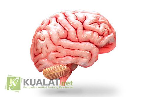 Penjelasan Anatomi Otak Manusia Secara Lengkap