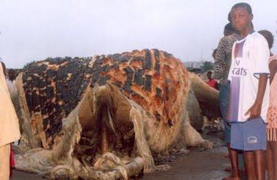 foto kura kura terbesar di dunia - gambar binatang