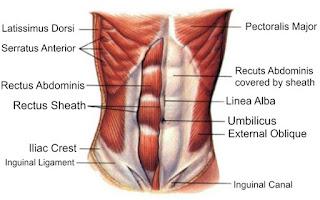 Otot sekitar perut dan dada