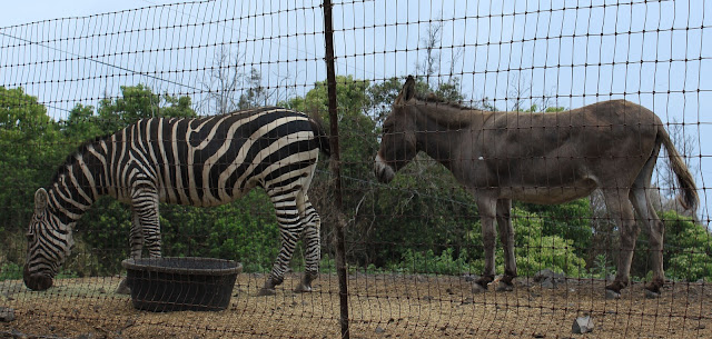 zebra and donkeys. south Kona (c) Engela Edwards 2012